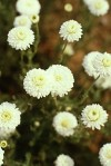 Anthemis nobilis L. • Chamaemelum nobile (L.) All.