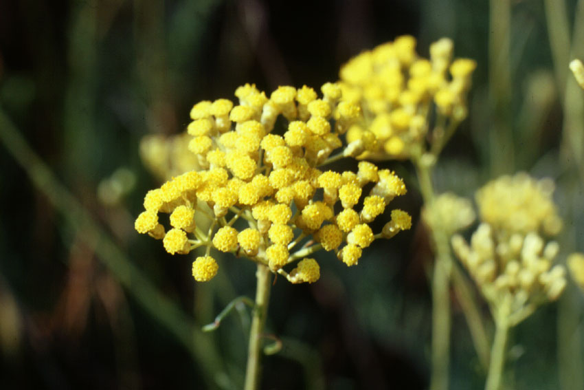 Helichrysum italicum (Roth) D. Don