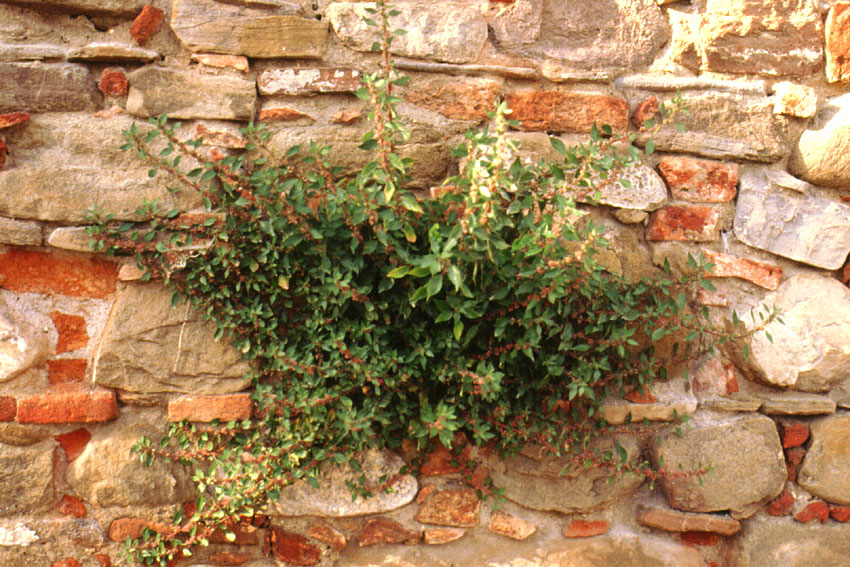 Pellitory of the Wall