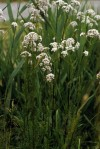 Valeriana officinalis L.