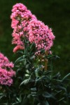 Centranthus ruber (L.) DC.